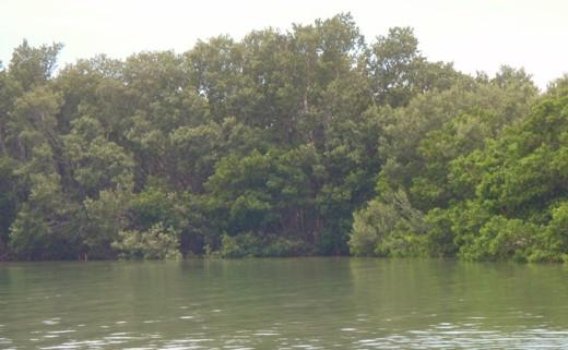Mangroves on Shell Key