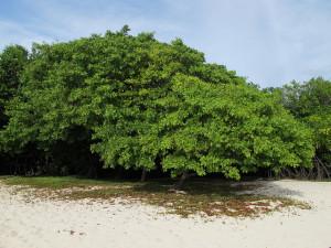 White Mangrove