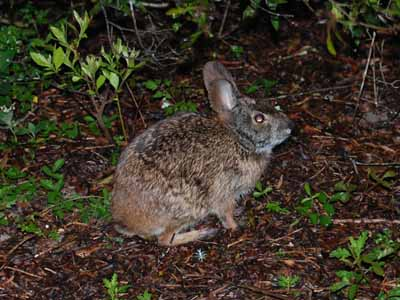 marsh_rabbit
